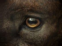 Primer del ojo de la cabra salvaje Fotografía de archivo