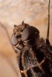 Primer del ojo de la mosca Fotografía de archivo libre de regalías