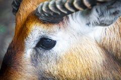 Primer del ojo de un antílope Foto de archivo libre de regalías
