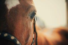 Primer del ojo del caballo Imagen de archivo libre de regalías