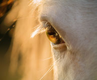 Primer del ojo del caballo en la puesta del sol
