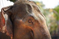 Primer del ojo del elefante Fotografía de archivo