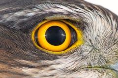 Primer del ojo del halcón, foto macra, ojo del nisus femenino del Accipiter de Sparrowhawk del eurasiático foto de archivo