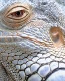 Primer del ojo y de la piel de la iguana Imágenes de archivo libres de regalías