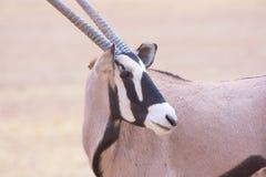 Primer del Oryx Fotografía de archivo
