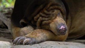 Primer del oso de Sun que duerme en el bosque entre las rocas y los árboles en el parque zoológico almacen de metraje de vídeo