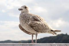 Primer del pájaro de la gaviota que se coloca al lado del agua Fotografía de archivo libre de regalías