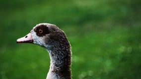 Primer del pato salvaje Imagen de archivo