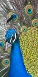 Primer del pavo real Fotos de archivo libres de regalías