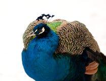Primer del pavo real Fotos de archivo