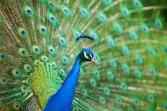 Primer del pavo real Imagen de archivo libre de regalías
