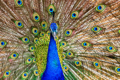 Primer del pavo real Fotografía de archivo libre de regalías