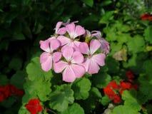 Primer del Pelargonium rosado del geranio foto de archivo