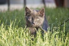 Primer del pelo corto nacional Gray Kitten en el correo que oculta en la hierba que consigue lista para saltar en la cámara fotografía de archivo libre de regalías