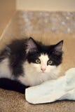 Primer del pelo largo nacional Kitten Sitting blanco y negro en el piso del refugio que mira la cámara Foto de archivo
