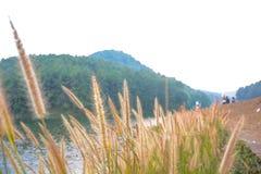 Primer del Pennisetum de la hierba de fuente fotos de archivo