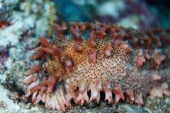 Primer del pepino de mar espinoso gordo, bonito, rojo y blanco fotografía de archivo