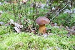 Primer del pequeño boleto con el casquillo marrón que crece en piso del bosque del musgo verde, seta comestible, otoño Imagen de archivo libre de regalías