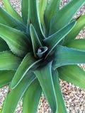 Primer del pequeño cactus Foto de archivo libre de regalías