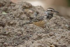 Primer del pequeño pájaro manchado del desierto de Brown Fotos de archivo libres de regalías