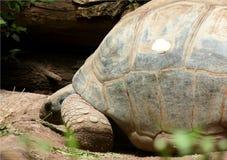 Primer del perfil de la tortuga gigante que camina lentamente imagen de archivo