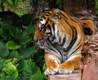 Primer del perfil del tigre Foto de archivo libre de regalías