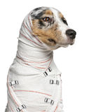 Primer del perrito australiano del pastor fotos de archivo