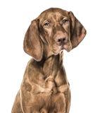 Primer del perrito de Vizsla, 6 meses, aislados Imagenes de archivo