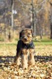 Primer del perrito del Airedale foto de archivo