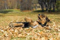 Primer del perrito del Airedale fotografía de archivo