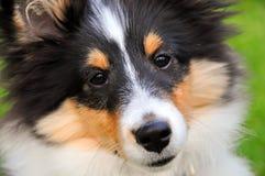 Primer del perrito del perro pastor de Shetland Imagenes de archivo