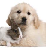 Primer del perrito del perro perdiguero de oro Imagen de archivo libre de regalías