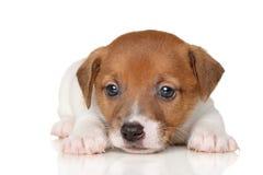 Primer del perrito del terrier de Gato Russell foto de archivo libre de regalías