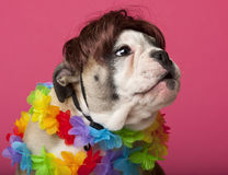 Primer del perrito inglés del dogo que desgasta una peluca Fotos de archivo libres de regalías
