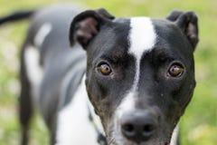 Primer del perro blanco y negro que mira en la lente de cámara Imagen de archivo libre de regalías