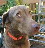 Primer del perro de Brown Imagen de archivo libre de regalías