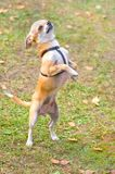 Primer del perro de la chihuahua imagen de archivo libre de regalías