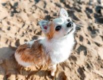 Primer del perro de la chihuahua en fondo de la arena de la playa Fotografía de archivo libre de regalías