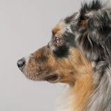 Primer del perro de pastor australiano, 10 meses foto de archivo libre de regalías