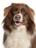 Primer del perro de pastor australiano foto de archivo libre de regalías