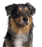 Primer del perro de pastor australiano foto de archivo