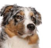 Primer del perro de pastor australiano, 6 meses fotos de archivo libres de regalías