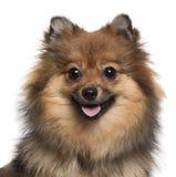 Primer del perro de Pomerania alemán que jadea, 8 meses fotografía de archivo