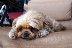 Primer del perro de Shih-Tzu que agujerea que mira cuidadosamente imagen de archivo