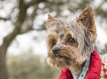 Primer del perro de Yorkshire imagenes de archivo