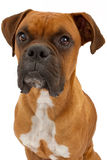 Primer del perro del boxeador Imagen de archivo libre de regalías