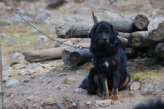 Primer del perro del mastín tibetano en China del norte fotografía de archivo