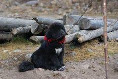 Primer del perro del mastín tibetano en China del norte fotos de archivo