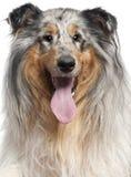 Primer del perro pastor de Shetland con la lengüeta hacia fuera Foto de archivo libre de regalías