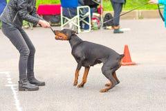 Primer del perro del Pinscher del Doberman fotografía de archivo libre de regalías